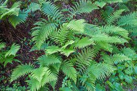 stock photo of fern  - Ferns leaves green foliage tropical background - JPG