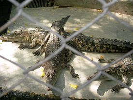 stock photo of zygote  - Predatory wild huge crocodiles get divorced on farms in Thailand as pets - JPG