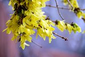 Forsythia In The Spring