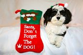 A beautiful Havanese aka Javanese dog wears a Red Santa Claus Hat for the Christmas Holidays. On a w poster