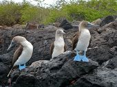 stock photo of blue footed booby  - Three blue - JPG