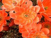 Flores de Cactus laranja