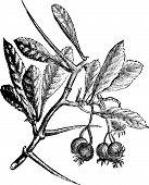 American Hawthorn Or Crataegus Crus-galli Vintage Engraving.