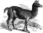 Alpaca Or Vicugna Pacos Vintage Engraving.