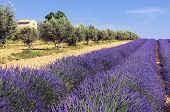 Lavender and olivers field in Provence