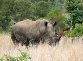 A Lonely Rhino In Africa