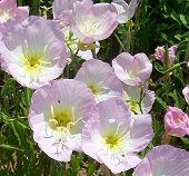 Texas Wildflowers In Pink