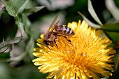 Honeybee Dandelion4