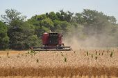 View Of Front Of Red Working Wheat Harvester Combine Machine On Gold Wheat Fields In Summer. July Wh poster