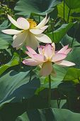 Sacred Lotus Flowers. poster