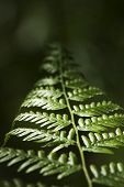 Fern do Bracken
