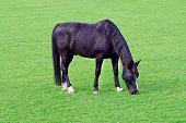 Grazing Black Horse On The Green Field. Black Horse Grazing Tethered In A Field. Horse Eating In The poster
