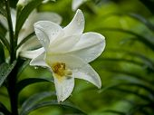 picture of easter lily  - An outdoor garden easter lily still drips from a fresh rainfall - JPG