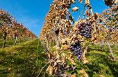 Red Bunches Of Grapes