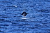 Manta ray jumping