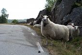 pic of the lost sheep  - Curious sheep wandering near road countryside Greece - JPG