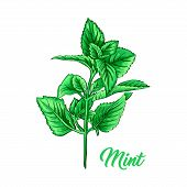 Green Mint Branch. Tea Herb Theme. Isolated Hand Painted Realistic Marker Drawing Illustration Of Pe poster