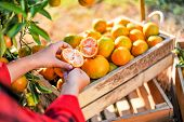 Hands And Oranges Of The Orange Farmers Are Harvesting. Oranges Are Delicious. Healthy Fruit poster