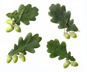 Green Oak Acorns And Leaves Isolated On White Background. Set Of Oak Acorns And Leaves. poster