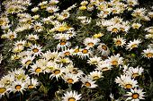 White Yellow And Black Gazania