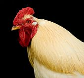 Cock's head Close-up