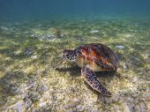 Sea Turtle On Sea Bottom Photo. Marine Green Sea Turtle Closeup. Wildlife Of Tropical Coral Reef. Se poster
