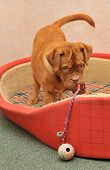 Cute Dogue De Bordeaux Puppy Playing with a ball toy in Red Cot