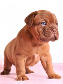 Charming Dogue De Bordeaux puppy is standing