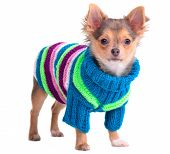 foto of chiwawa  - Chihuahua puppy dressed with colorful sweater - JPG