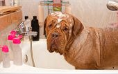Cleaning the Dog of Dogue De Bordeax Breed in bath