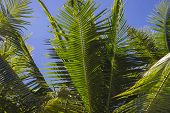 Green Palm Leaf On Blue Sky Background. Sunny Tropical Garden Landscape Photo. Exotic Place For Vaca poster