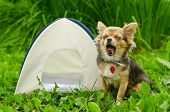stock photo of chiwawa  - Yawning chihuahua dog sitting near camping tent at sunny meadow - JPG