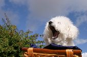 Fifi the Bichon Frise yawns while in a wooden basket covered with dark blue silk material with a blue sky and white fluffy clouds in the background poster
