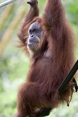 image of zoo animals  - orang utan in zoo - JPG