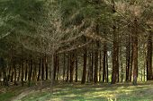 a forest of coniferous pine trees poster
