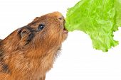 the guinea pig eats a lettuce leaf