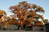 The ombalantu Baobab Tree In Namibia