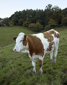 picture of feedlot  - a brown and white pied cow in feedlotnear the edge of a forest at late summer - JPG