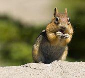 Wild Chipmunk
