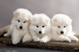 picture of laika  - funny puppies of Samoyed dog  - JPG