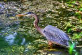 Great Blue Heron Hunting In The Swamp In Hdr