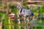 Great Blue Heron Fishing In Hdr