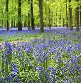 Bluebell Woods Ashridge Berkhamsted Hertfordshire