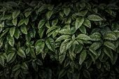 Dark green leaves wall, abstract background.
