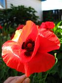 Beautiful Flower Of Red Poppy