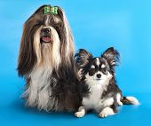 pic of dog breed shih-tzu  - dog of breed shih - JPG