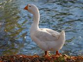 Domestic Geese poster