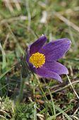 Pasque Flower