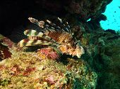 Lion Fish In The Rock