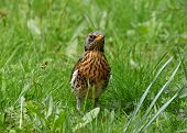stock photo of brown thrush  - close up of thrush sitting in green grass - JPG